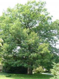 White Oak (Quercus alba). Photo © Barb Elliot.  Click to enlarge.