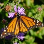 Male Monarch in Barb's yard.   Photo © Barb Elliot
