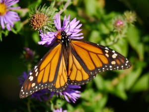 Male Monarch on New England Aster in Barb's yard.  September 21, 2012.   Photo © Barb ElliotClick to enlarge.