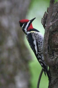 Yellow-bellied Sapsucker.  Photo © Gerry Dewaghe http://www.pbase.com/gdewaghe