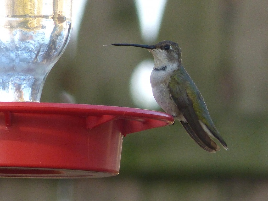 Black-chinned Hummingbird.  Nov 11, 2012.  Morrisville, Bucks County, PA.  Photo courtesy of and © Rich Dulay.