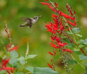 Calliope Hummingbird, Nov. 2, 2012, Devon. PA.  Photo © Barb Elliot.