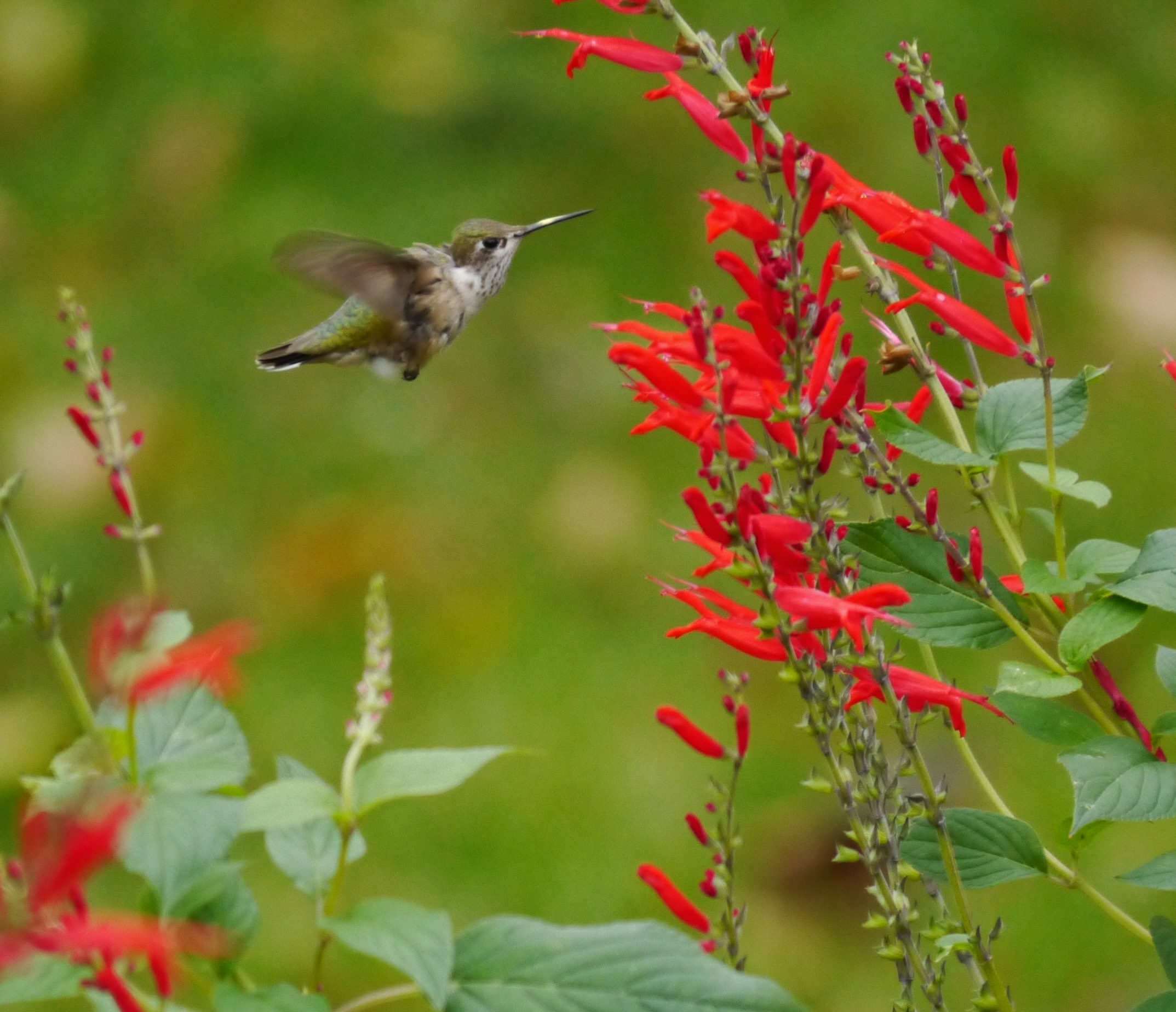 ¿Cuándo es la migración de Hummingbird exactamente?