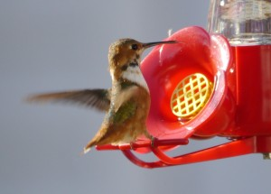 Allen's Hummingbird - immature male.  Nov 26, 2012.  Photo © Barb Elliot.