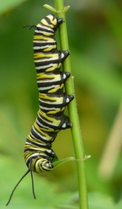 Monarch caterpillar on Swamp Milkweed in Barb's garden. August 13, 2011.  Photo © Barb Elliot.  Click to enlarge.