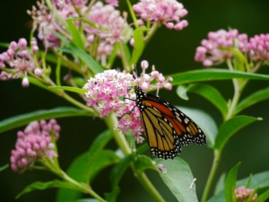 Monarch on Swamp Milkweed (Asclepias incarnata) in Barb's garden. July 9 2012.  Photo © Barb Elliot.  Click to enlarge.