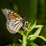 Monarch laying egg on Butterfly Milkweed.  Photo @ Barb Elliot.