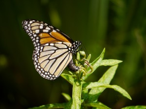 Monarch laying egg on Butterfly Milkweed. August 2012.  Photo © Barb Elliot.  Click to enlarge.