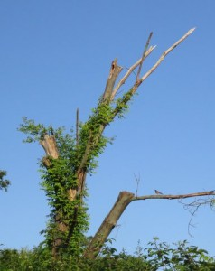 The snag in Edie's yard that attracted the Pileated Woodpecker.  Photo by Edie Parnum