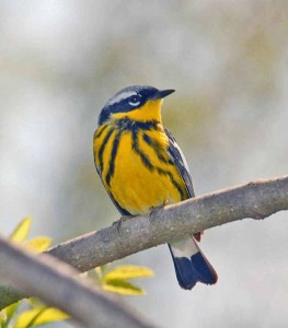 Magnolia Warbler.  Courtesy of and © Howard Eskin.