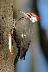 Pileated Woodpecker.  Photo courtesy of and © Howard Eskin.