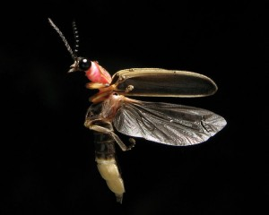 Common Eastern Firefly (Photinus pyralis).  Photo by Terry Priest, 2009.  Licensed under Creative Commons Share-alike.  Click to enlarge.