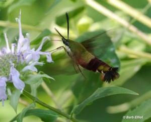 Hummingbird Clearwing (Hemaris thysbe)- a day-flying moth.  © Barb Elliot Click to enlarge.