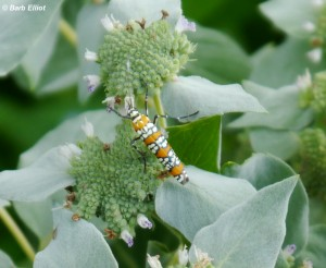 Ailanthus Webworm Moth (Atteva aurea).  © Barb Elliot.  Click to enlarge.