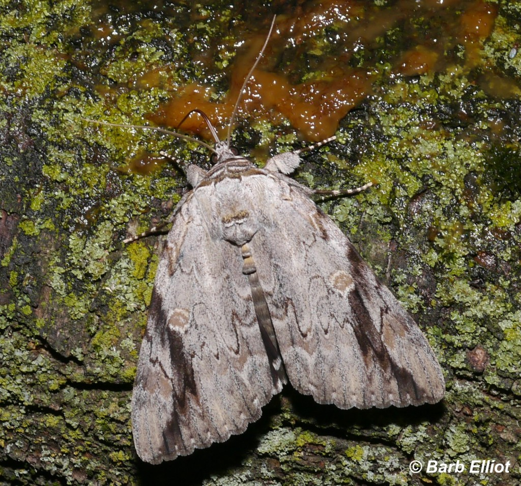 """Sad Underwing.  A 2""""-long moth.  © Barb Elliot.  Click to enlarge."""