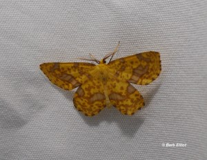 False Crocus Geometer (Xanthotype urticarial). © Barb Elliot.  Click to enlarge.