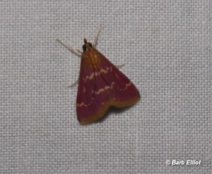 Raspberry Pyrausta (Pyrausta signatalis).  © Barb Elliot.  Click to enlarge.
