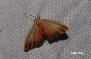 Painted Lichen Moth (Hypoprepia fucosa).  © Barb Elliot.  Click to enlarge.