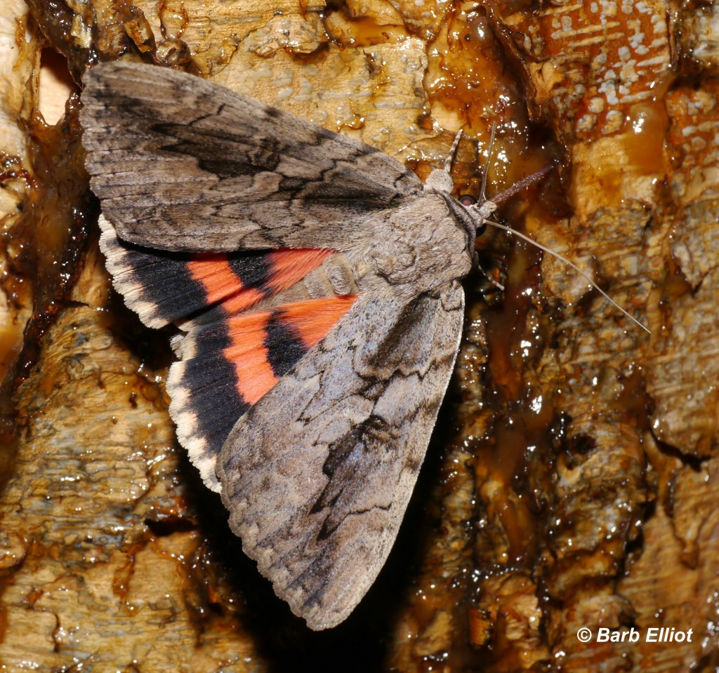 """The Sweetheart - a 2"""" long moth.  © Barb Elliot.  Click to enlarge."""