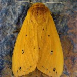 Isabella Tiger Moth - the adult form of a Woolly Bear.  Photo by Steve Jurvetson.  Wikipedia Creative Commons.