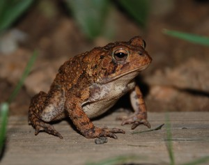 American Toads eat invertebrates in leaf mulch.  Photo by Jarek Tuszynski.  Wikimedia Creative Commons.