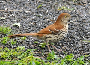 Brown Thrashers find food in leaf mulch.  Photo courtesy of and © Howard Eskin.