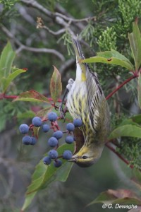 Cape may Warbler eating Virginia Creeper berries.  Courtesy of and © G. Dewaghe.  Click to enlarge.
