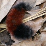 Woolly Bear caterpillar in Barb's leaf mulch.  October, 2013.  Photo © Barb Elliot.