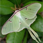 Luna Moth is another of the 456 lepidoptera species caterpillars that eat Back Cherry.  Photo © Adrian Binns.  Click to enlarge.
