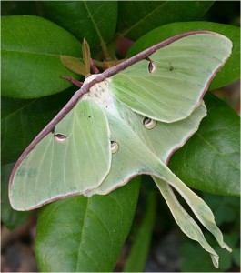 Cocoons of the Luna Moth are found in leaf mulch.  Photo © Adrian Binns.
