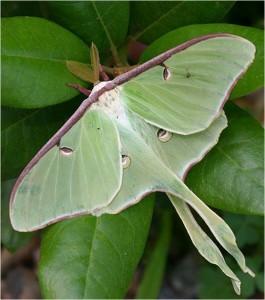 Cocoons of the Luna Moth are found in leaf mulch.  Photo © Adrian Binns.