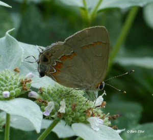 Red-banded Hairstreak on Mountain Mint in Barb's yard. Photo © Barb Elliot.