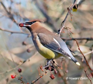 Cedar Waxwing eating Crabapple berries.  Courtesy of and © Howard Eskin.  Click to enlarge.