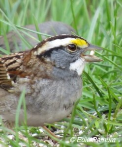 White-throated Sparrow, a common visitor in winter. Click to enlarge.