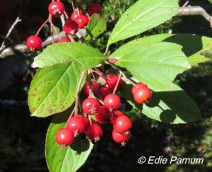 Red Chokeberry's fruits are eaten by thrushes, catbirds, and waxwings.  Click to enlarge.