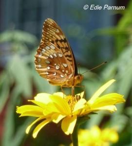 Great-spangled Fritillary nectaring on False Sunflower.  Click to enlarge.