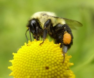 Bumble Bee with pollen baskets.  Photo by Beatriz Moisset. Wikimedia Creative Commons.