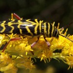 Locust Borer Beetle on goldenrod.  Wikimedia Creative Commons photo.