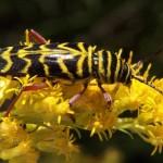 Locust Borer Beetle on goldenrod.  Wikimedia Creative Commons photo.