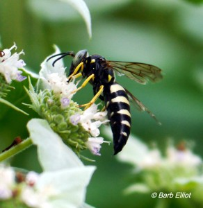 Wasp on Mountain Mint. @ Barb Elliot