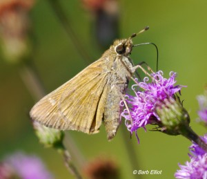 Skipper sipping nectar from Upland Ironweed.  @ Barb Elliot