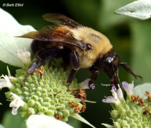 Bumble bee with tongue extended on Mountain Mint. Photo @ Barb Elliot.