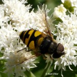 Hover Fly on Snakeroot.  @ Barb Elliot