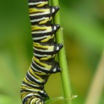 Monarch caterpillar on Barb's Swamp Milkweed.  Photo © Barb Elliot.