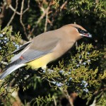 Cedar Waxwing Eating Cedar Cones.  Photo © Howard Eskin.