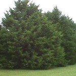 Eastern Red Cedar Trees.