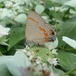 Red-banded Haristreeak nectaring on Mountain Mint.  Photo © Edie parnum.  Click to enlarge.