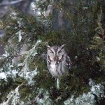 Screech Owl in Barb's Eastern Red Cedar. Photo  © Barb Elliot. Click to enlarge.