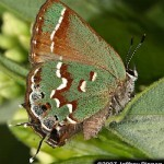 Juniper Hairstreak.  Photo courtesy of  and © Scott Pippen.