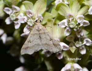 Moth on Common Milkweed (Aesclepias syriaca).  Barb's yard, 6/15/2014. © Barb Elliot